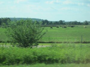 A picture of midwest dairy cows. This is where dairy feta would come from.